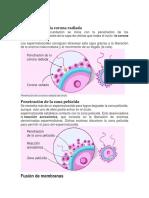 Cómo se produce la fecundación humana.docx