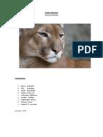 Puma Andino