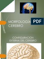 el cerebro (1).pdf