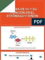 BOMBA DE H+ Y SU FUNCIÓN EN ESTOMAGO Y RIÑON PPT