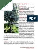 Baloghia inophylla-convertido