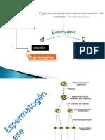 APP Espermatogénese