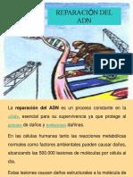 Tema 2 Biologia Molecular Reparacion Del Adn