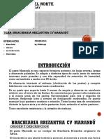 Brachiaria Brizantha Cv Marandú-1
