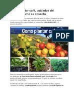 Cómo plantar café, cuidados del cultivo y como se cosecha