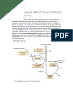 Metabolismo Del Tejido Muscular. Bioquimica Ilustrada de Harper