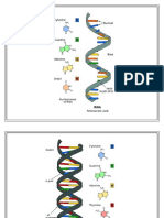 Rna Dna Structure