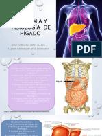 Anatom de Higado