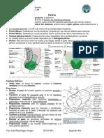 Anatomia de la Pelvis