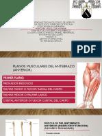 Musculos Del Antebrazo y Brazo