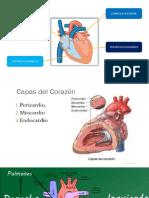 Fiosología Circulatorio - Ivan Aurazo Carhuatanta
