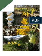 Narcisos silvestres ibéricos, edición 2019