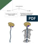 Neuroanatomía y Áreas de Brodmann