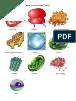 Actividad Partes de La Celula Animal y Vegetal