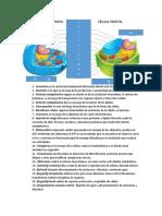 Célula procariota y organelos.docx