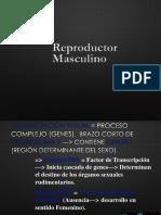 Embriologia Rep Masc