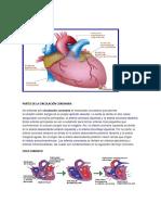 Partes de La Circulación Coronaria