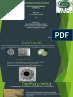 Bacillus Pumilus