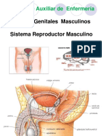 Aparato Reproductor Masculino 2