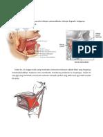 Organ Sistem Pencernaan