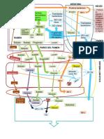 Diagrama Metabólico