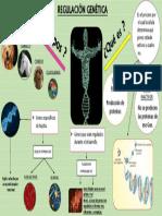 DIAPOSITIVA REGULACION GENETICA