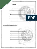 Embriologia Placenta
