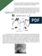 Dypilidium caninum