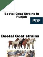 6 e. Beetal Goat Strains 2019