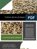 Cultivo de Lentejas_Armando Nerio Guedez Rodriguez
