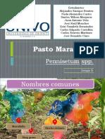 Pasto maralfalfa.pptx