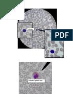 embrio - celulas sanguineas