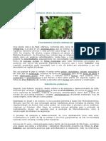 Erva Baleeira (Cordia Verbenaceae)