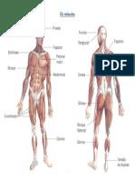informações músculos