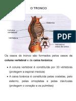 ossos do tronco.doc