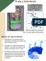 7. Ciclo de krebs y fosforilación oxidativa