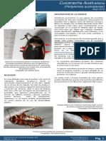 Cucaracha australiana