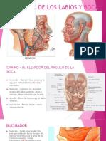 musculosdeloslabiosybocaslidesyorrara-140603115842-phpapp02