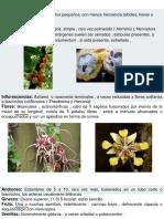 byttneriaceae