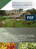 Cultivo de Olluco-convertido