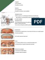 Miologia Cara y Cuello (2)