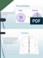 Prometafase y Metafase