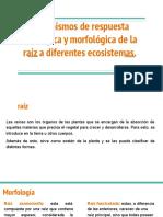 Mecanismos de respuesta morfológica de las Raíces Botánica