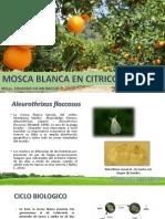Aleurothrixus en Citrus