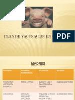 Plan de Vacunacin en Cerdos 1