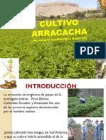 Cultivo de Arracacha