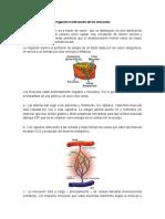 Irrigacion-e-Inervacion-de-Los-Musculos.doc