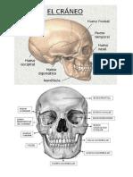 12 anatomia.docx
