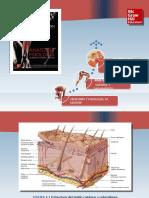 Saladin Anatomia 6a Diapositivas c06 SIST TEGUMENTARIO