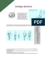 Cronologie Dentara Bovine